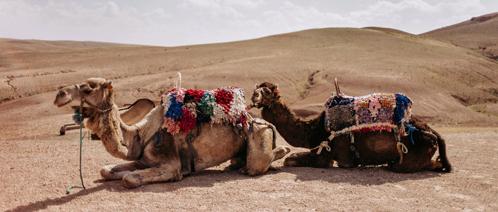 Kamelen ontspannen zich in de woestijn