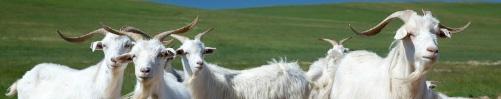 Kasjmier geiten in grasland
